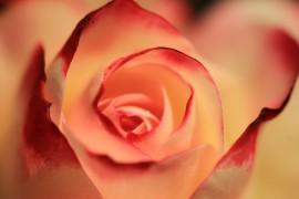 rose-2980163_960_720